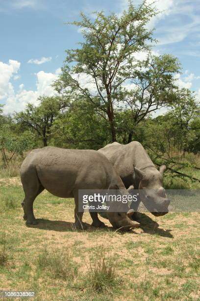 46 Rhino Black Background Pictures, Photos & Images - Getty Images