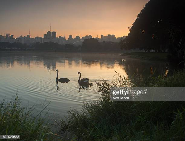 a pair of black swans, cygnus atratus, on a lake in brazils ibirapuera park. - alex saberi stock pictures, royalty-free photos & images