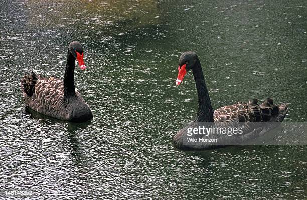Pair of black swans in the rain Cygnus atratus Species native to Australia and the official state emblem of Western Australia On hotel grounds Kauai...