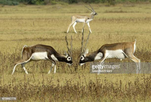 A pair of blackbucks also known as the Indian antelope tussle in a field at Kadi Taluka some 30kms from Ahmedabad on April 20 2017 / AFP PHOTO / SAM...