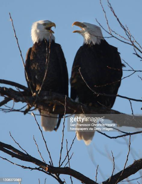A pair of blad eagle seemingly talk to each other while perched in a snag of leafless clump of cottonwoods in the Klamath Basin National Wiildlife...