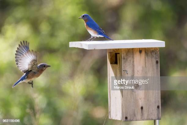 pair of bluebirds at the birdhouse - birdhouse stock pictures, royalty-free photos & images