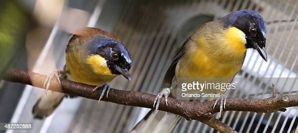 A pair of bluecrowned laughing thrushes at a backstage research lab as researchers at the animal science center at Disney's Animal Kingdom talk about...