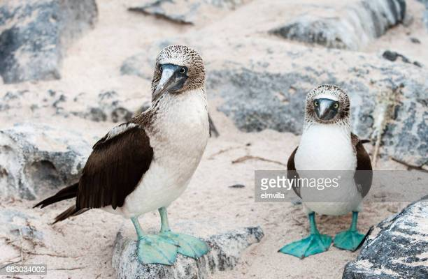 Pair of Blue-footed Boobies standing on sand on Espanola the Galapagos