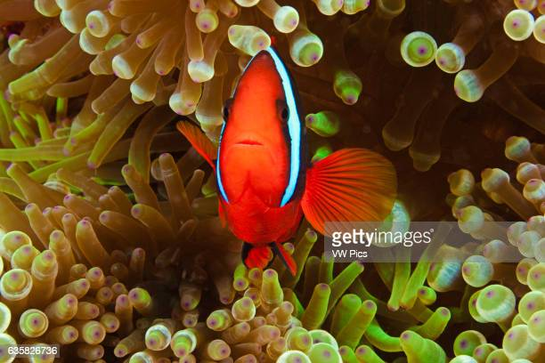 A pair of bridled anemonefish Amphiprion frenatus in bulbtenacle sea anemone Entacmaea quadricolor Philippines