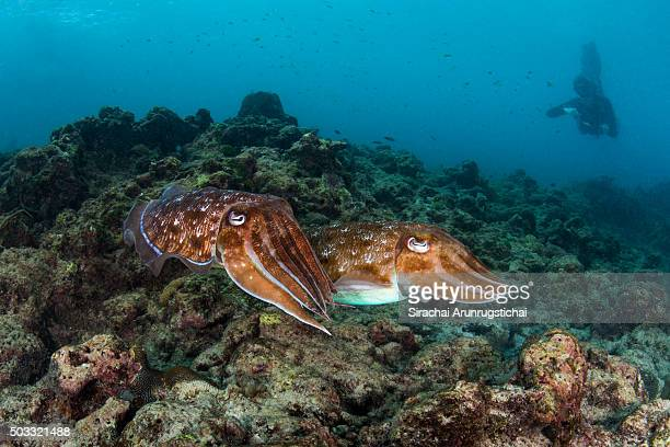 A pair of broadclub cuttlefish with an observing marine biologist