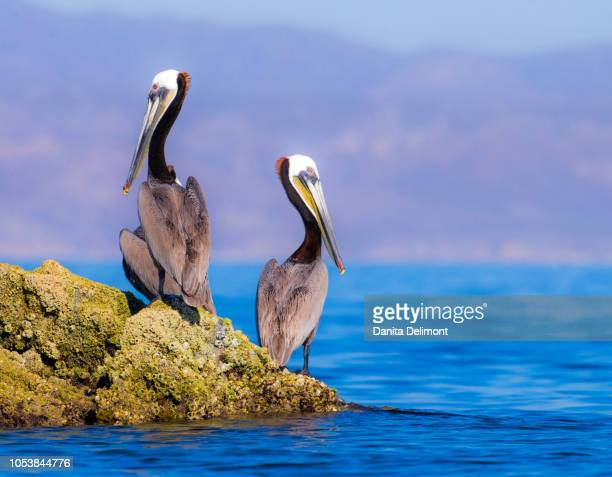 pair of brown pelicans (pelecanus occidentalis) perching on rock, baja peninsula, sea of cortez, gulf of california, mexico - sea of cortez stock pictures, royalty-free photos & images