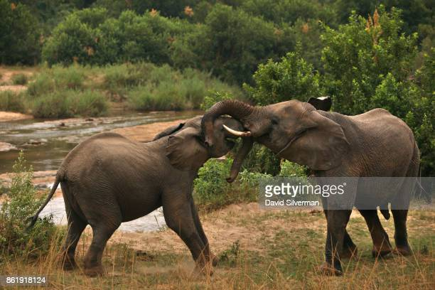 A pair of bull elephants interact on the banks of the Sabi River on March 31 2015 at the Sabi Sands private game reserve in the eastern province of...