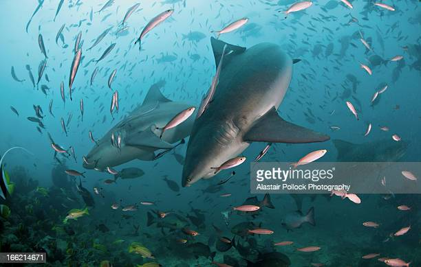 pair of bull sharks - bull shark stock pictures, royalty-free photos & images