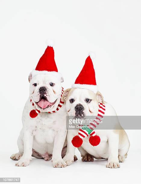 pair of bulldogs wearing santa hats