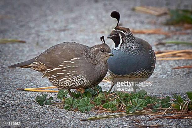 pair of california quail - quail bird stock photos and pictures