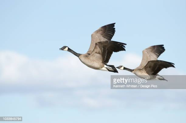 pair of canada geese flying in tandem over creamer's field migratory waterfowl refuge, fairbanks, interior alaska, spring - water bird stock pictures, royalty-free photos & images