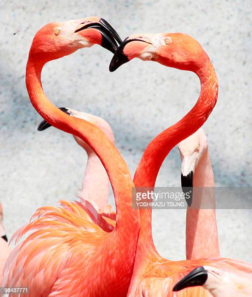 A pair of Caribbean flamingos extend their heads and necks in a heart shape as flamingos perform courtship dances at the Saitama Children's Zoo in...