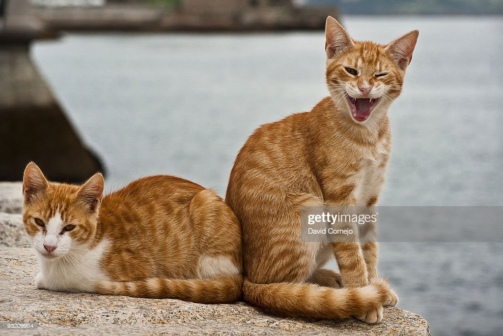 Cat Laugh