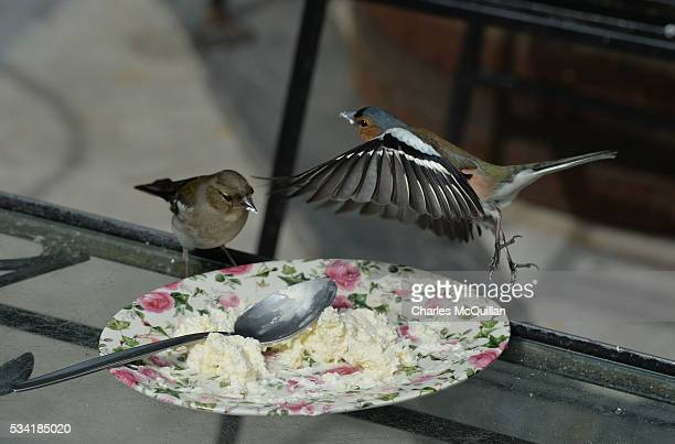A pair of chaffinches make the most of some leftover high tea cream in the walled garden of Glenveagh Castle as Prince Charles Prince of Wales and...