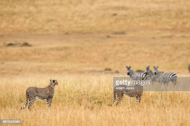 Pair of cheetahs contemplating hunting zebras