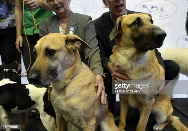 A pair of Chinook one of three new breeds meet the press during a press event at Madison Square Garden January 15 2014 to promote the Firstever...