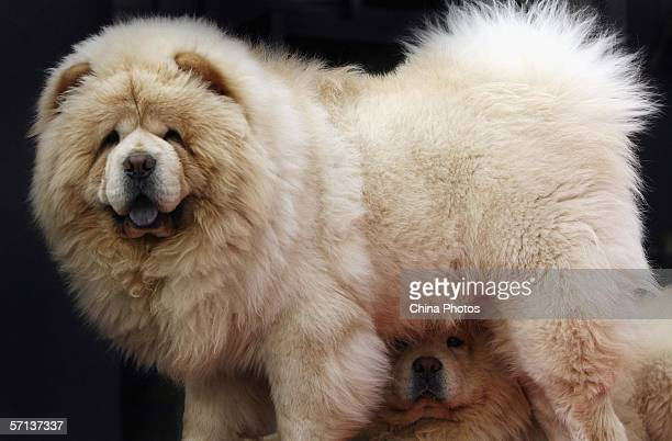 Pair of Chow Chow dogs, each worth over 100,000 yuan , are seen at a pet market on March 19, 2006 in Beijing, China. According to state media, with...