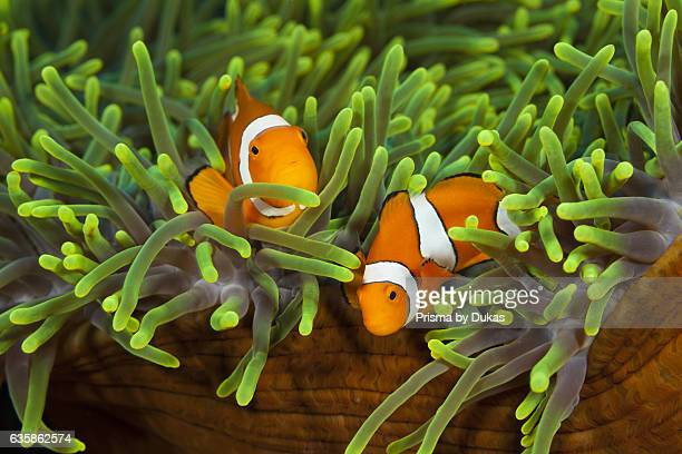 Pair of Clown Anemonefish Amphiprion ocellaris Florida Islands Solomon Islands