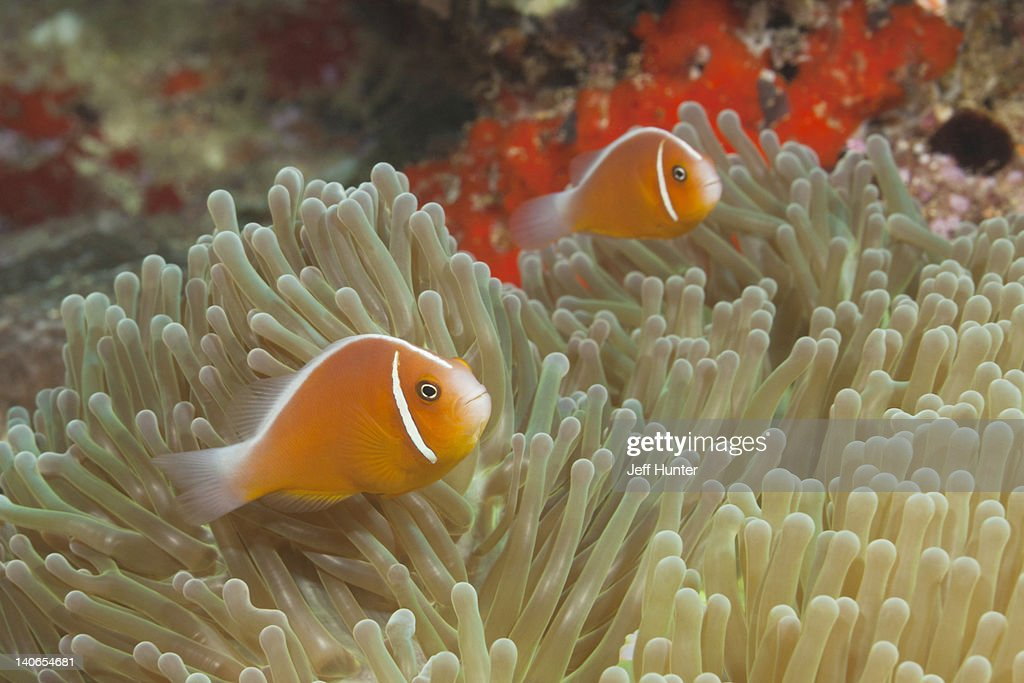 Pair of Clownfish in sea anemone host on reef : Stock Photo
