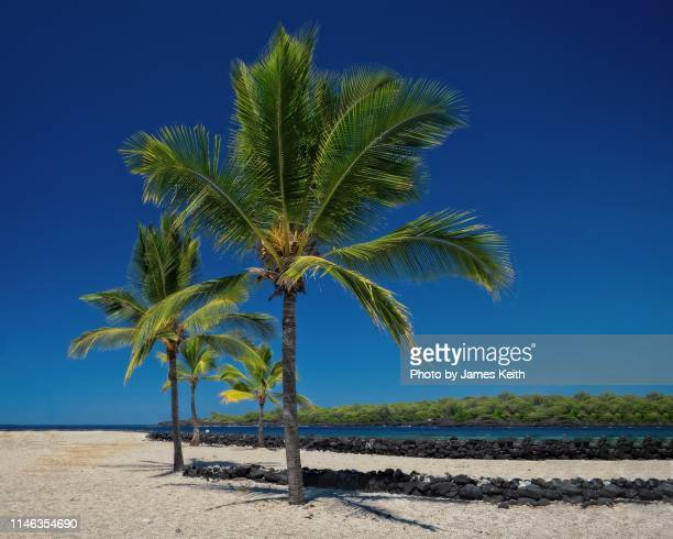 a pair of coconut palms sway in the wind overlooking a tropical lagoon. - kailua stock pictures, royalty-free photos & images