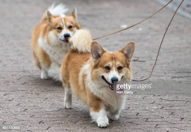 A pair of corgi dogs arrive on the second day of Crufts Dog Show at the NEC Arena on March 10 2017 in Birmingham England First held in 1891 Crufts is...