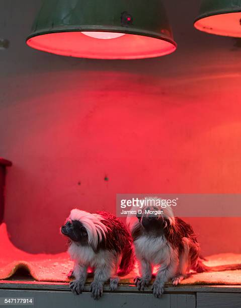 Pair of cotton-top tamarins sits under a heat lamp at Melbourne Zoo on July 14, 2016 in Melbourne, Australia. Melbourne is currently experiencing a...
