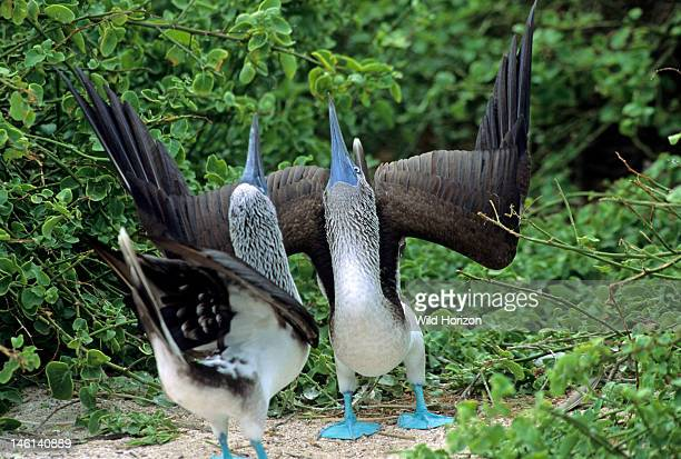 Pair of courting bluefooted boobies in skypointing courtship display Sula nebouxii Espanola Island Hood Island Galapagos Archipelago Ecuador