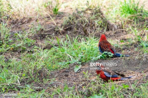 A pair of Crimson Rosella parrots | Melbourne | Australia