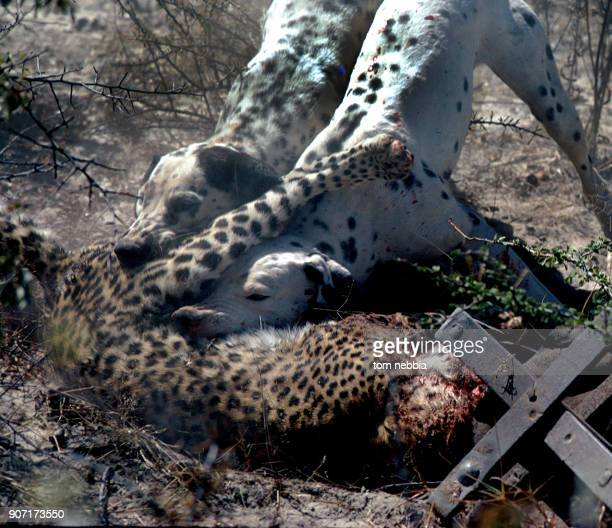 A pair of Dalmatian dogs attack a leopard with it's paw caught in a trap on a farm adjacent to the Etosha Pan Game Reserve Namibia 1980