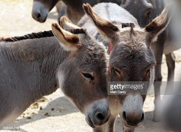 A pair of donkeys looking to be rehomed stand in the yard at the farm they are being cared for near the Donkey Sanctuary on August 16 2010 near...