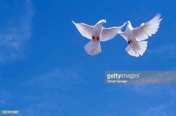 Pair of doves in flight