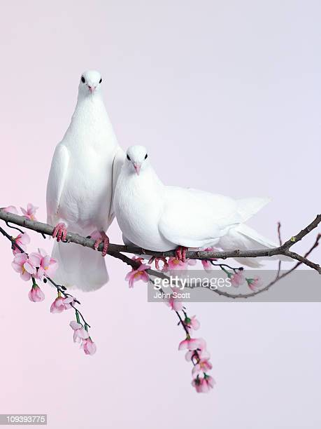 A pair of doves sat on a branch with blossom