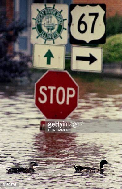A pair of ducks swim past a stop sign in Alton Illinois' business district 23 July 1993 With more rain in the midwest water levels of the Mississippi...