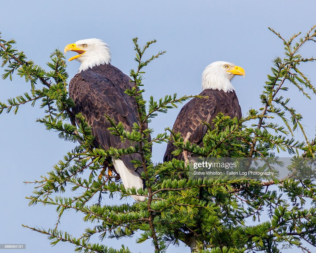 Pair of Eagles in a Tree : Stock Photo