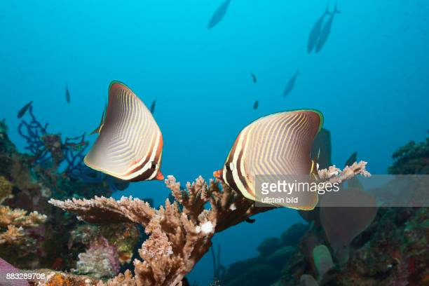 Pair of Eastern Triangle Butterflyfish Chaetodon baronessa Russell Islands Solomon Islands