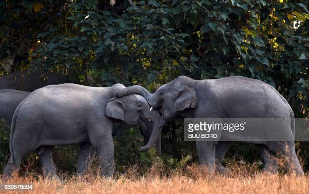 A pair of elephants play as they gather with others in a paddy field in the village of Bahampur in Nagaon district some 155kms east of Guwahati on...