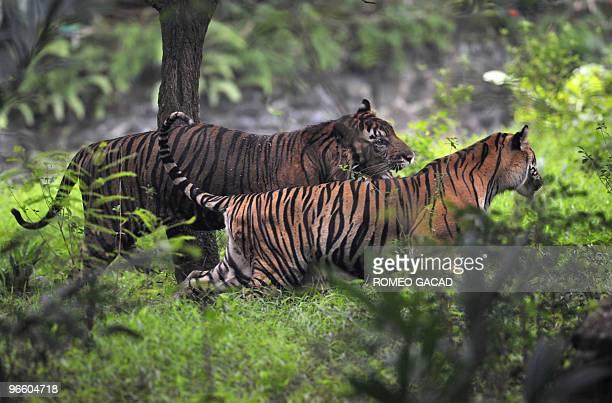 A pair of endangered Sumatran tigers named Sambeng and Trenggani roams inside their enclosure at Ragunan Zoo in Jakarta on February 12 2010...