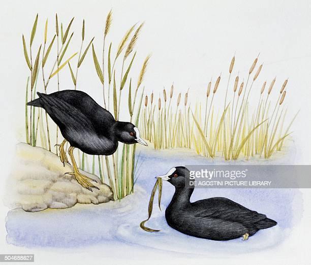 Pair of Eurasian Coot Rallidae drawing