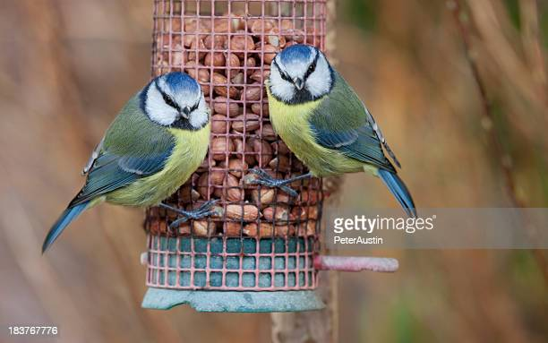 pair of feeding blue tits - bluetit stock photos and pictures