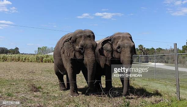 A pair of female elephants stand together on March 8 2016 in their enclosure at the Ringling Bros Center for Elephant Conservation in Polk City...