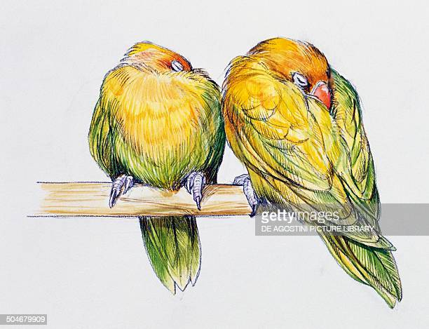 Pair of Fischer's Lovebirds while sleeping Psittacidae drawing