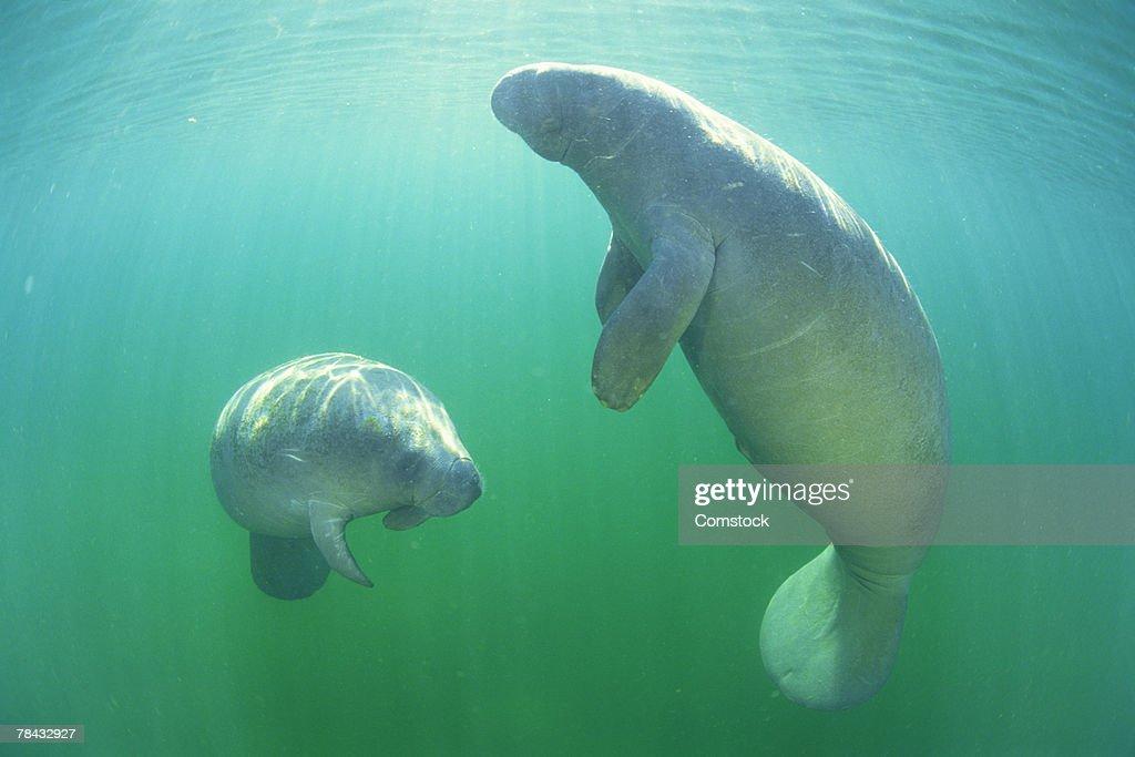 Pair of florida manatees swimming : Stockfoto