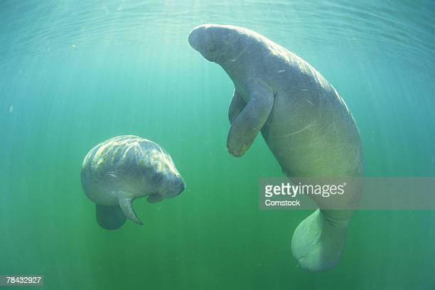 pair of florida manatees swimming - florida manatee stock photos and pictures