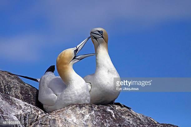Pair Of Gannets Morus bassanus bonding at nest site on cliff edge Bass Rock Firth of Forth Scotland UK Gannets