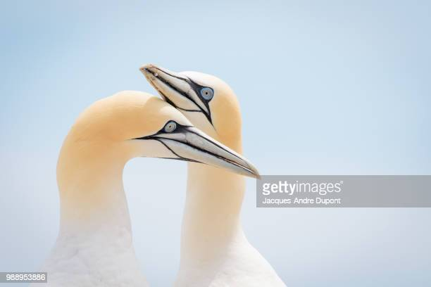 a pair of gannets, quebec, canada. - gannet stock photos and pictures