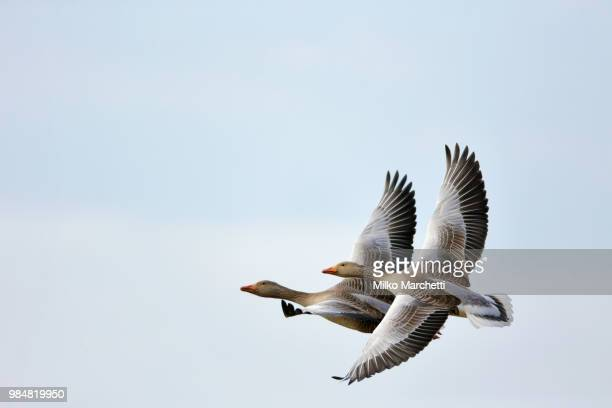 a pair of geese flying. - goose bird stock pictures, royalty-free photos & images