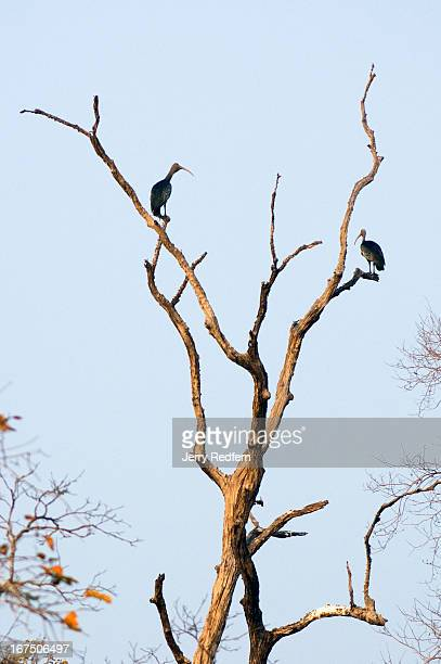 Pair of giant Ibises perches in a tree over a trapeang near Tmatboey. Two of the world's rarest birds - the giant ibis and the white-shouldered ibis...