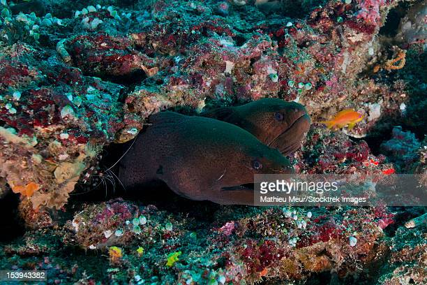 Pair of giant moray eels in hole with cleaner shrimp, Ari and Male Atoll, Maldives.