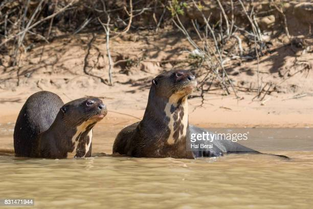 pair of giant river otters restng on shore - cuiaba river stock pictures, royalty-free photos & images